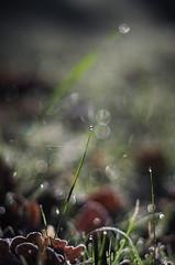 morning magic (SS) Tags: morning italy garden pentax bokeh magic dew lazio k5 verticalformat smcpentaxm50mmf17 ss