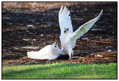 I'm the boss (juliewilliams11) Tags: bird outdoor border parrot australia corella photoborder