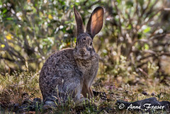 """I'm all ears"" (Anne Marie Fraser) Tags: arizona nature desert wildlife ears"