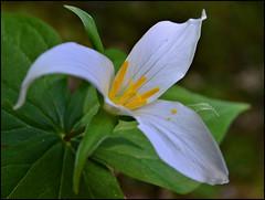 Suiattle 1.1 (@GilAegerter / klahini.com) Tags: flowers outdoors trillium nikon hiking wildflowers nikkor nikond3200 1855mmf3556gvr suiattlerivertrail