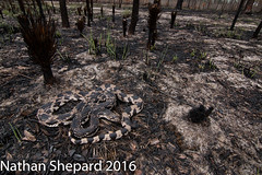 Pituophis melanoleucus (Nathan Shepard) Tags: white black history ecology pine canon fire spring nathan natural snake burn harmless northern habitat biology shepard herp ecosystem protected sandhills prescribed pituophis nonvenomous 2016 melanoleucus longleaf threatened 70d