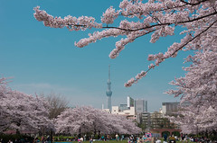 Cherry Blossoms and Tokyo Skytree (703) Tags: pink flower japan tokyo spring cityscape  cherryblossom   daytime     skytree daytimeview tokyoskytree  pentaxk5 da18135mm