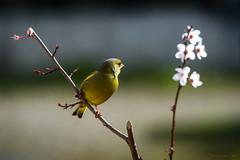 Verdier pensif au printemps (caffin.jacques3) Tags: flowers bird animal fleurs outside spring bokeh extrieur printemps oiseau greenfinch verdier