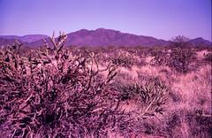Lomo LC-A+, Fuji Sensia II (K e v i n) Tags: arizona cactus film nature analog cacti 35mm landscape outside lomography desert az lomolca scan sonorandesert cholla fujisensiaii100 blackcanyontrail epsonv500 blackcanyonnationalrecreationtrail