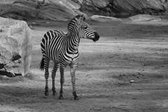 Svartvitt (Anders Bromell) Tags: blackwhite zebra svartvitt boråsdjurpark boraszoo fotosondag fs160410
