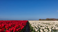 Red White and Blue (BraCom (Bram)) Tags: flowers blue trees red sky white holland netherlands truck canon spring bomen blauw tulips path farm widescreen pad nederland row tulip nl 169 lente rood wit depth bloemen vrachtwagen tulpen boerderij zuidholland oudetonge goereeoverflakkee tulp rij voorjaar diepte southholland canonef24105mm bracom canoneos5dmkiii