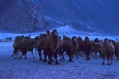 Bactrian Camels at Hunder in Nubra Valley (pallab seth) Tags: india mountain tourism evening asia tour dusk himalayas sanddunes ladakh nubravalley hunder joyrides camelsafari bactriancamel jammuandkashmir diskit unknownplace camelusbactrianus colddesert