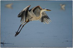 GBH takeoff (RKop) Tags: a77mk2 minolta600mmf4apog greatblueheron sanibel florida jndaringwildliferefuge raphaelkopanphotography sony wildlife