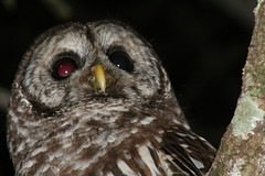 Owl Be Back (FilmandFocusPhoto) Tags: bird nature animal night canon outdoors nocturnal natural outdoor flash feathers feather raptor owl noedit hunter 75300mm predator untouched 75300 unedited unaltered noprocessing photoshopfree