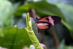 Dripping Beauty (Explored) (mariachiara.casali) Tags: nature beauty butterfly centro arc di campo variety morpho albero animale farfalla insetto padova pianta terme farfalle allaperto profondit abano montegrotto