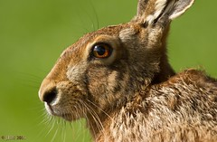 """Thinking""-Brown Hare Portrait. (norfolk jem..) Tags: light wild portrait brown sun green eye nature contrast lens mammal nose hare norfolk whiskers thinking europaeus lepus"