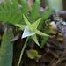 4Q4B4173_Angraecum dryadum (Fleur)
