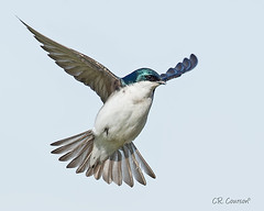 Tree Swallow In Flight (CR Courson) Tags: nature birds wings nikon birdsinflight naturephotography treeswallow tachycinetabicolor hirundinidae birdphotography swallowsandmartins crcourson chuckcourson