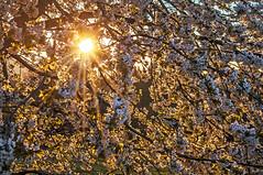Eingetaucht in ein Kirschbltenmeer... (Mariandl48) Tags: austria sonnenaufgang sonnenstrahlen steiermark kirschbaum morgenstimmung wenigzell kirschbaumblten sommersgut
