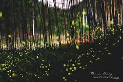 Firefly. Nantou, Taiwan  ( (Morris)) Tags: blue light red green yellow nikon ngc taiwan   firefly   nantou