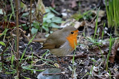 Robin (Mario-Land) Tags: new morning portrait macro cute bird love nature netherlands robin birds closeup portraits canon garden photography photo blog spring photos sweet den nederland like natuur social blogger hedge blogging portret lente rood share rijn aan selfie photooftheday macrophotography roodborstje socialmedia alphen canonphotography canonphoto marcolens macrolovers macro4all