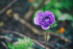 flower (governornator) Tags: pentax helios 442 k3