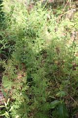 Palhinhaea cernua (L.) Franco & Vasc. (alrcardoso) Tags: verde green terrestre ferns terrestrial herb samambaia lycopodium erva lycopodiaceae lycopodiella lycophytes lycopodiumcernuum lycopodiellacernua palhinhaeacernua palhinhaea licofita