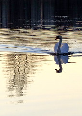 swan (Lalallallala) Tags: sea bird water suomi finland mirror swan helsinki balticsea fowl waterfowl tlnlahti kyhmyjoutsen