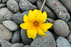 Flower amongst the stones (leah-nz) Tags: plant flower texture nature outdoor daisy