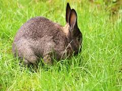 Sherman munching away (Tjflex2) Tags: pet rabbit bunny nature lapin