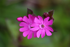 (zsolt75) Tags: flower nature spring hungary sigma 70300 canon100d
