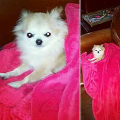 Princesse Bambou pas tout  fait rveille. .. aprs que je sois rentre du sport...   #cute #chihuahuasofinstagram #cuteness #dogstagram #cuteness #nice #mydog #pet #mydog (Eaglle Northy) Tags: dog pet chihuahua cute square nice squareformat hudson cuteness mydog kawai iphoneography instagramapp uploaded:by=instagram
