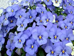 Blue eyes (Deejay Bafaroy) Tags: flowers blue closeup blossoms pansy blumen tufted blau bedding blten horned hornveilchen