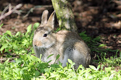 Rabbit (NickWakeling) Tags: rabbit nature wildlife norfolk canonef400mmf56lusm canon60d norfolkwildlifetrust holmedunes