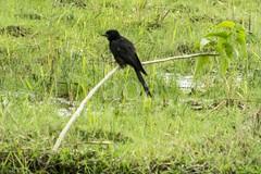 H504_3121 (bandashing) Tags: trees england black green bird water landscape manchester branch village flood wildlife scenic monsoon sit land l sylhet bangladesh rains socialdocumentary aoa bandashing akhtarowaisahmed