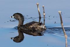 Pied-billed Grebe (J.B. Churchill) Tags: ny newyork birds us unitedstates places seneca taxonomy piedbilledgrebe senecafalls senecacounty montezumanwr pbgr loonsgrebes