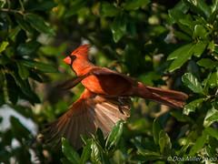 Male Cardinal (DonMiller_ToGo) Tags: nature birds outdoors inflight cardinal florida wildlife birdwatching bif d5500