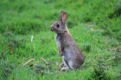 Aux aguets - Watchful (Nadine Le Goff) Tags: rabbit de lapin garenne lapereau