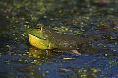 Bullfrog (Brian E Kushner) Tags: de lens ed nikon wildlife amphibian bull frog toad bombay fl delaware hook nikkor smyrna vr afs d5 bullfrog 800mm nikond5 bombayhooknationalwildliferefuge lithobatescatesbeianus bombayhooknwr bkushner whitehallcrossroads nikonafsnikkor800mmf56efledvrlens f56e tc800125eed tc800125e brianekushner