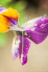 Beauty Rest (J. Sibiga Photography) Tags: macro nature colors unique seed vivid dandelion unusual multicolored