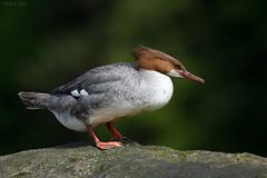 Common Merganser, female (markvcr) Tags: bird duck diving merganser