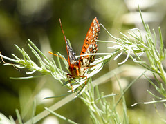 Checkerspot Butterfly (lmurphy) Tags: nature animal animals insect insects potd paloalto foothillspark californianaturalist