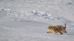 Black-tailed Prairie Dog in winter - South Dakota (petechar) Tags: winter animal southdakota wildlife mammalia badlandsnationalpark rodentia sciuridae vertebrata nikonv1 charlesrpeterson petechar nikon170300 cyanomysludovicianus