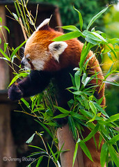 Bamboo Dinner (JKmedia) Tags: animal zoo tail bamboo redpanda climber captivity stripy 2015 blackpoolzoo ailurusfulgensfulgens boultonphotography