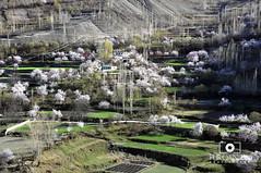 Blossom in Hunza (Furqan LW) Tags: pakistan nature blossom northern hunza gilgit furqan furqanlw