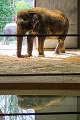 Ambika (bfowlerfotos) Tags: animals elephants ambika smithsoniansnationalzoo