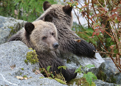 Baby Grizzly (Chris Parker2012) Tags: bear wild canada beautiful britishcolumbia young grizzlybear