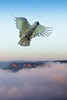 Cockatoo two (south*swell) Tags: morning bird nature animal fly flying wildlife flight australia bluemountains cockatoo katoomba