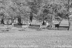 Red Deer, Badminton Park, Gloucestershire 2016 (raybird299) Tags: animals wildlife gloucestershire badminton reddeer badmintonpark