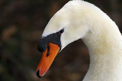 Mute swan II (photoroberto) Tags: bird nature animal swan boilingsprings waterfowl muteswan aquaticbird