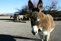 oh hai parking lot visitors 2-3-16 (EllenJo) Tags: arizona donkeys canonrebel burros equine digitalimage verdevalley clarkdale 2016 february3 ellenjo ellenjoroberts winterinaz lifeoutwest
