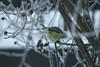 IMG_29352 (IdaAsplund) Tags: blue winter bird birds animal animals season vinter branch tit branches mes bluetit blå fåglar djur fågel gren blåmes grenar årstid