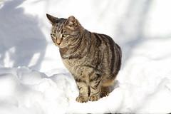Tigger 2 (aka Snow Leopard) (judygva) Tags: