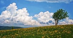 Route des crtes en Alsace prs du Markstein (jjcordier) Tags: montagne alsace nuage arbre markstein vosges lonelytree solitaire
