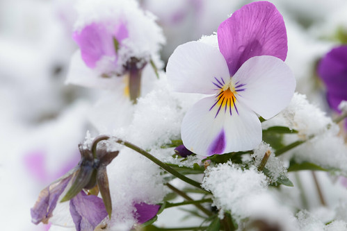 Blooming in the snow